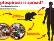 leptospirosis-spread